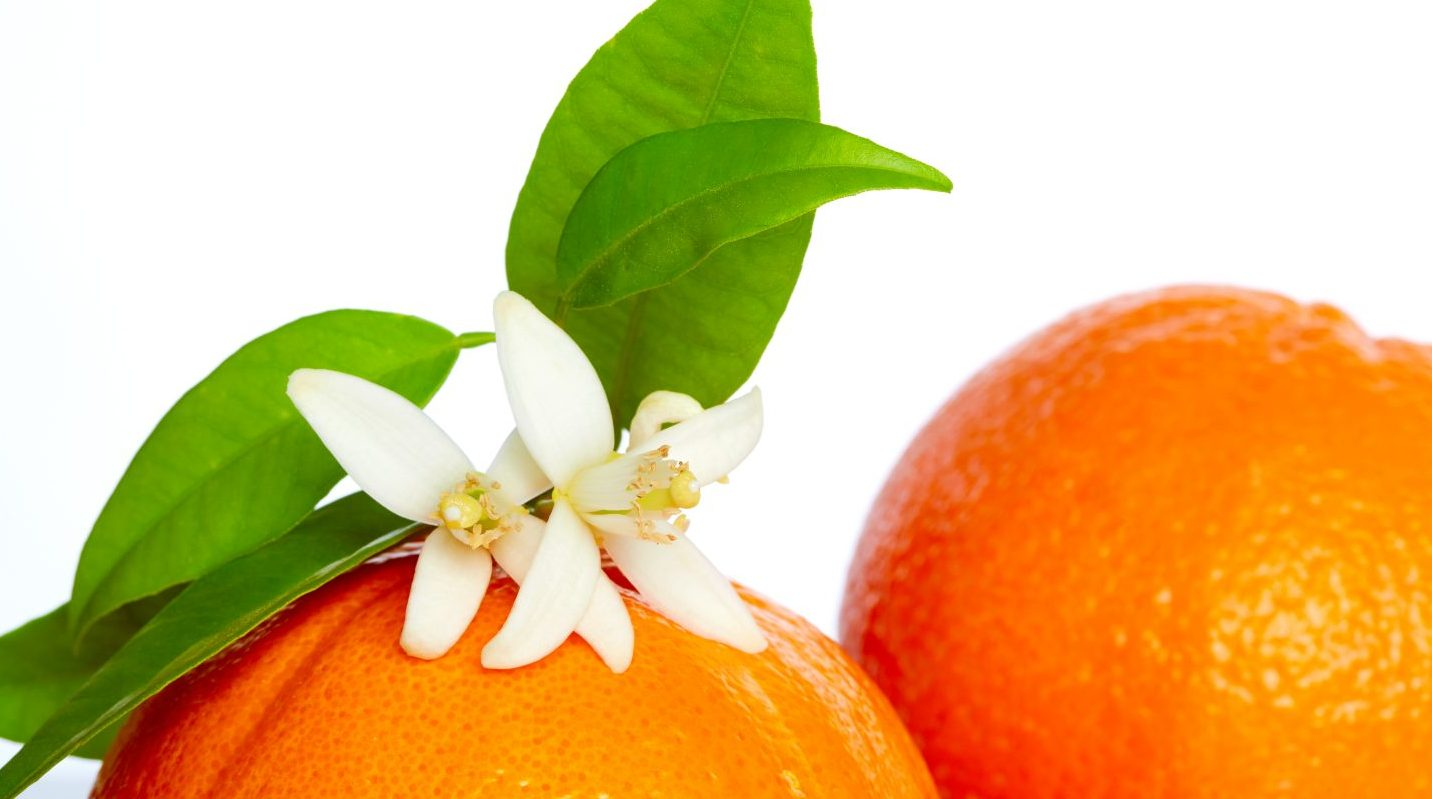 Oranges with orange blossom flowers on white